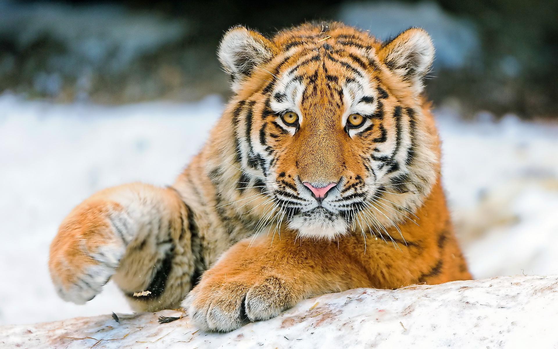 tiger cute animal
