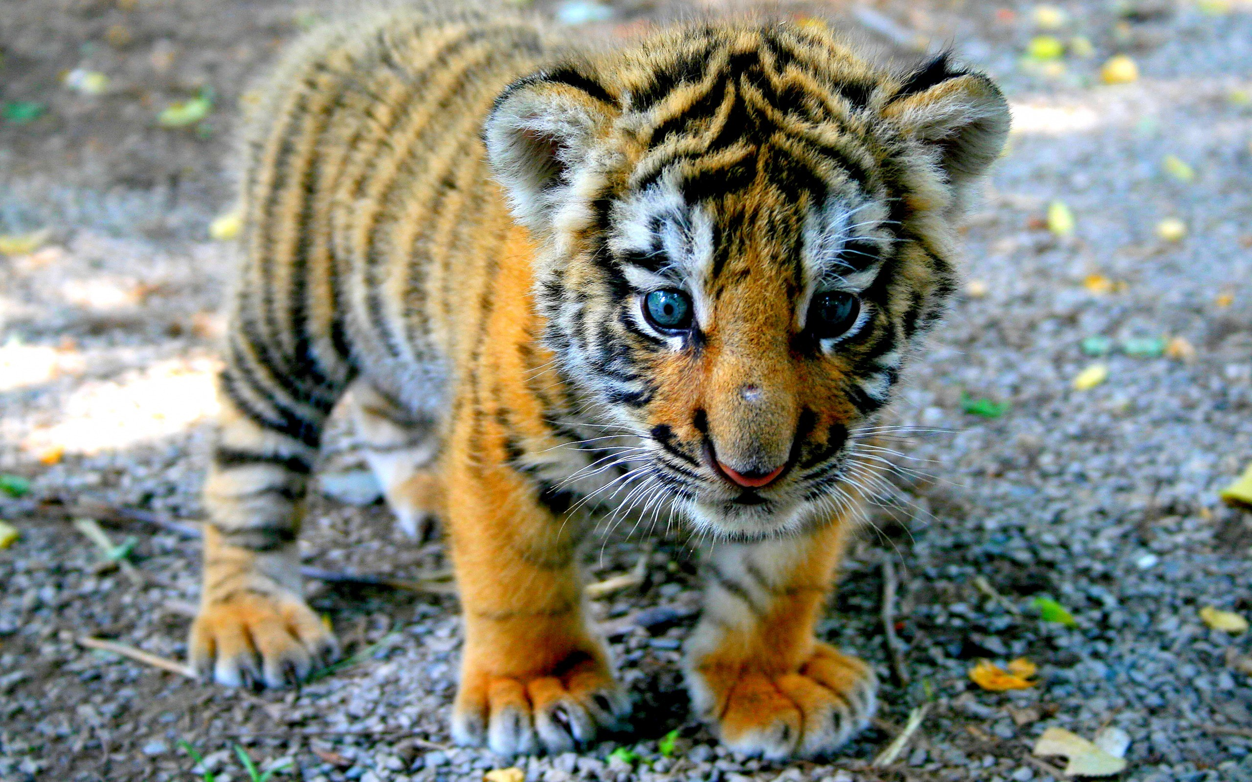 tiger cute images desktop