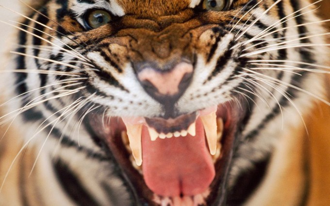 tiger free images