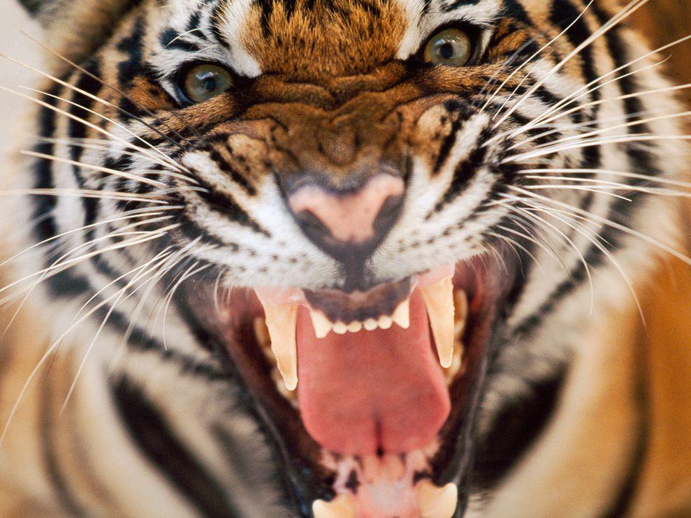 tiger free images