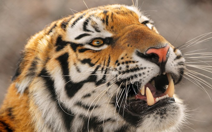 tiger images hd