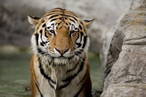 tiger pic hd