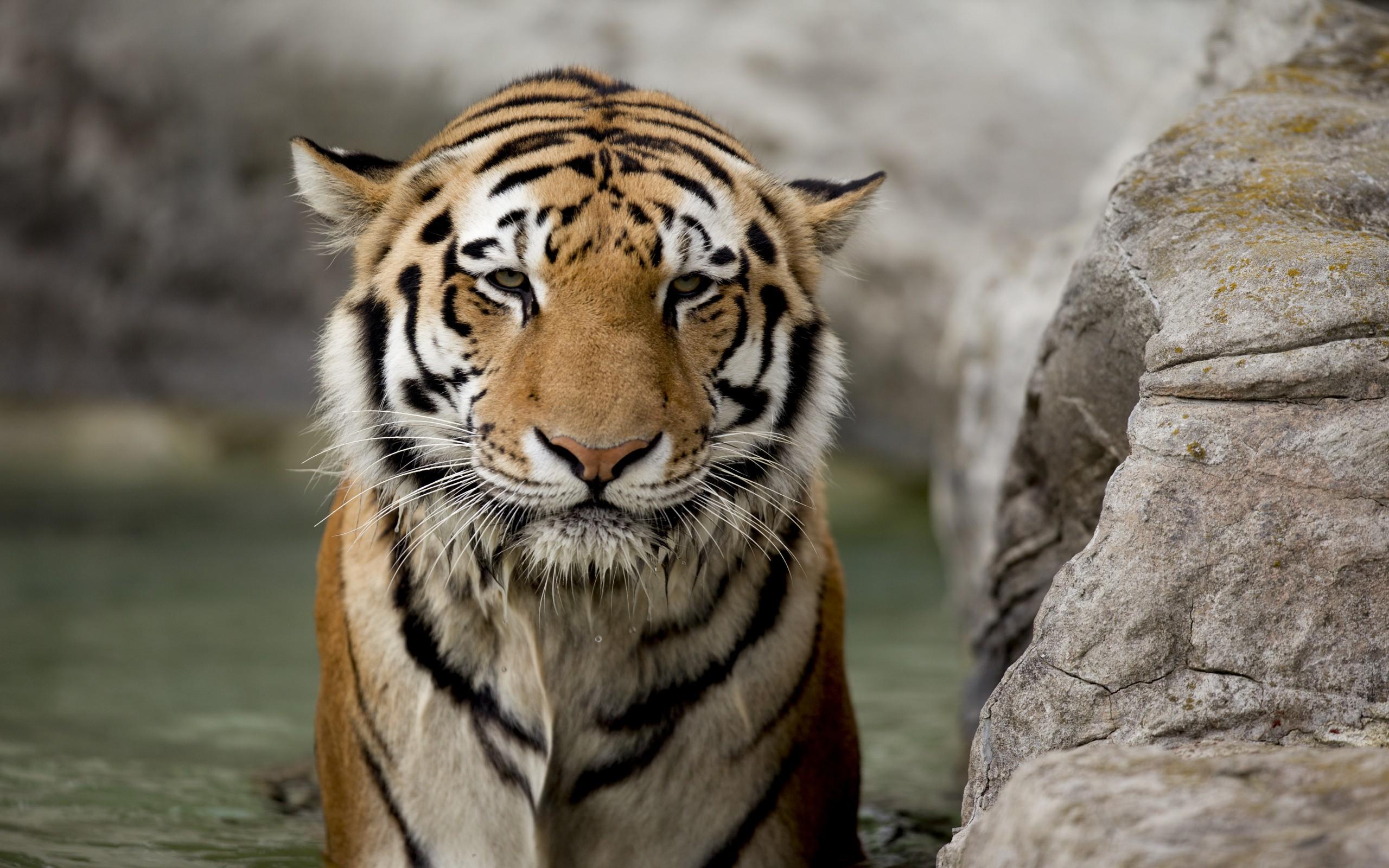tiger pic hd
