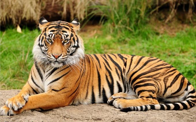 tiger wallpaper iphone