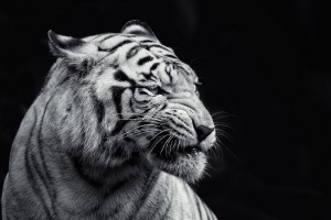 tiger you see me