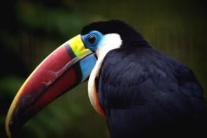 toucan beak images