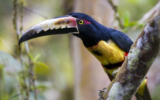toucan collared aracari