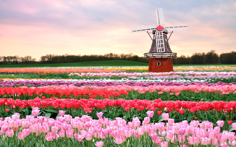 tulip flower holland