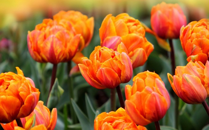 tulip flower orange