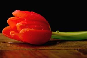 tulip flower red love