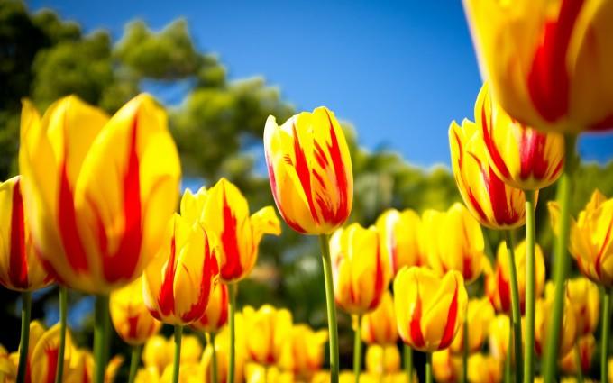 tulip flower yellow hd