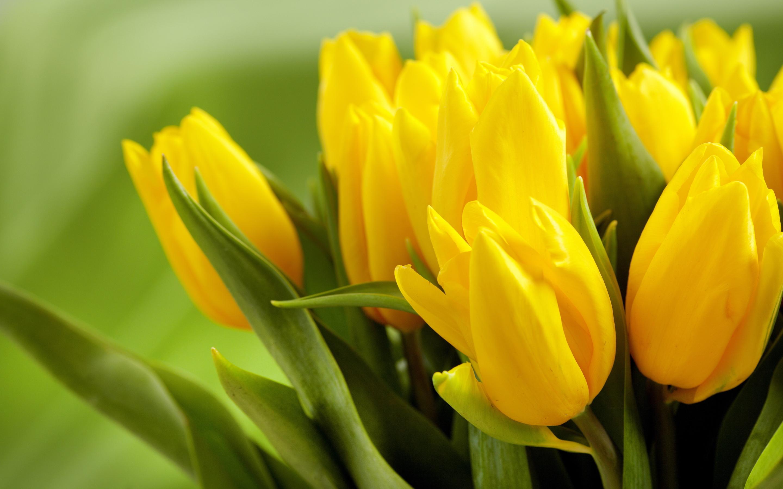 tulip flower yellow