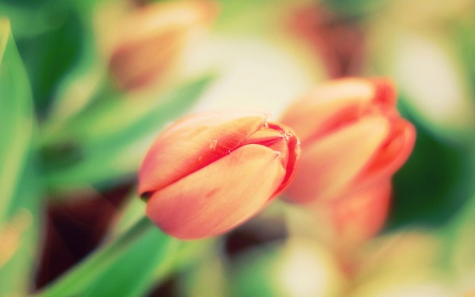 tulip flowers hd wallpapers