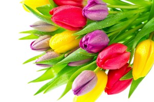 tulip hd wallpapers colors