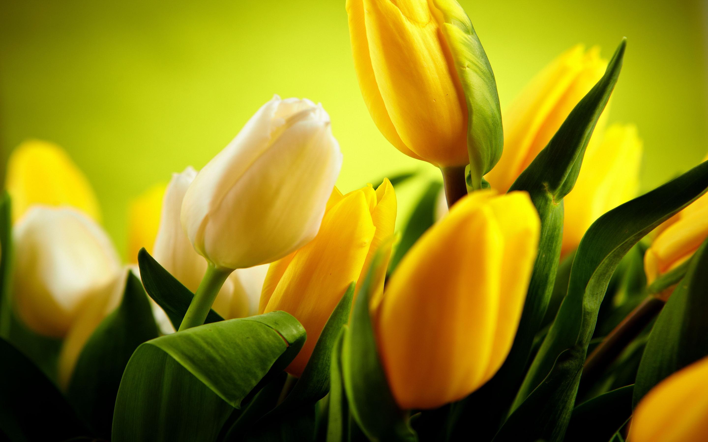 tulip pictures