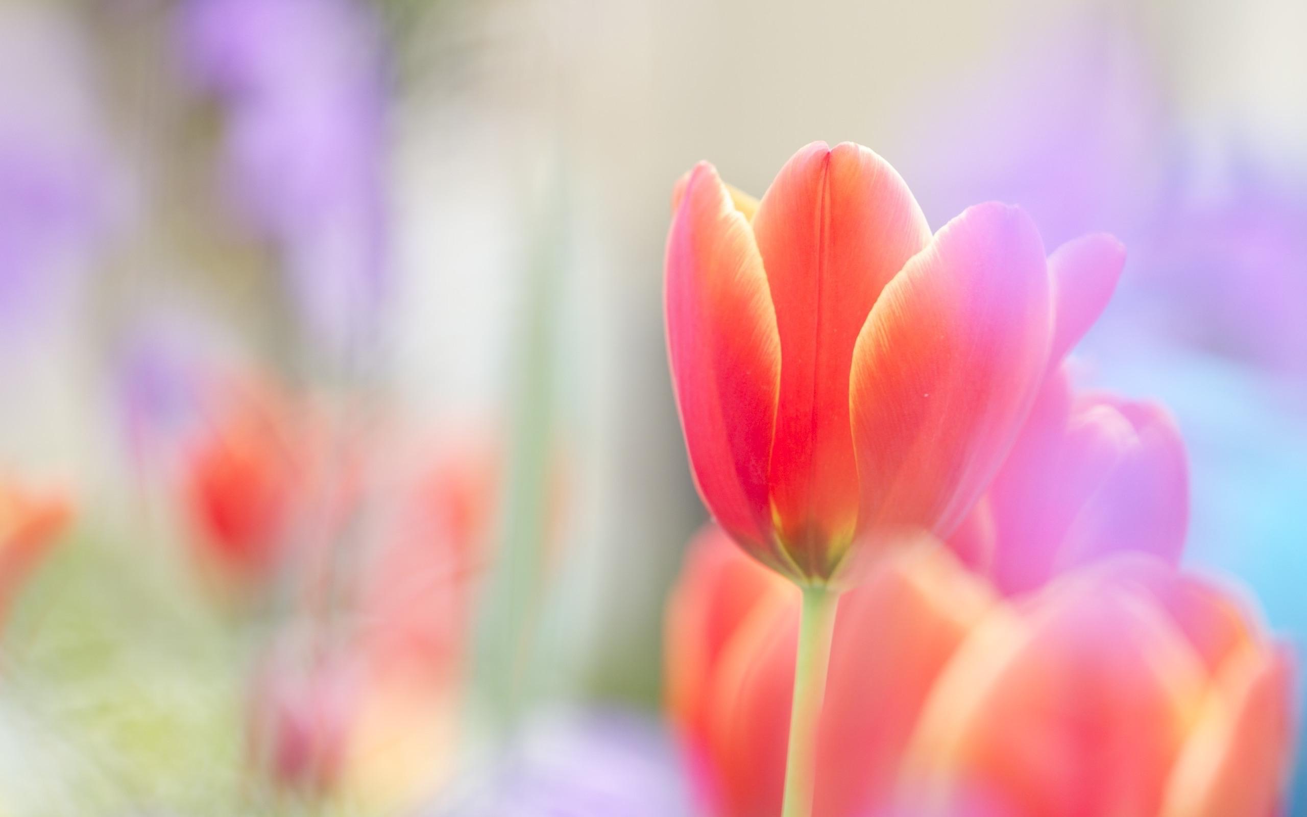 tulip scarlet