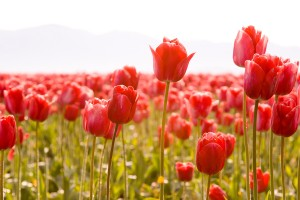 tulips field nature photo