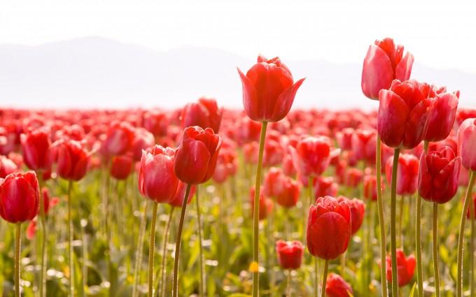 tulips field nature photo