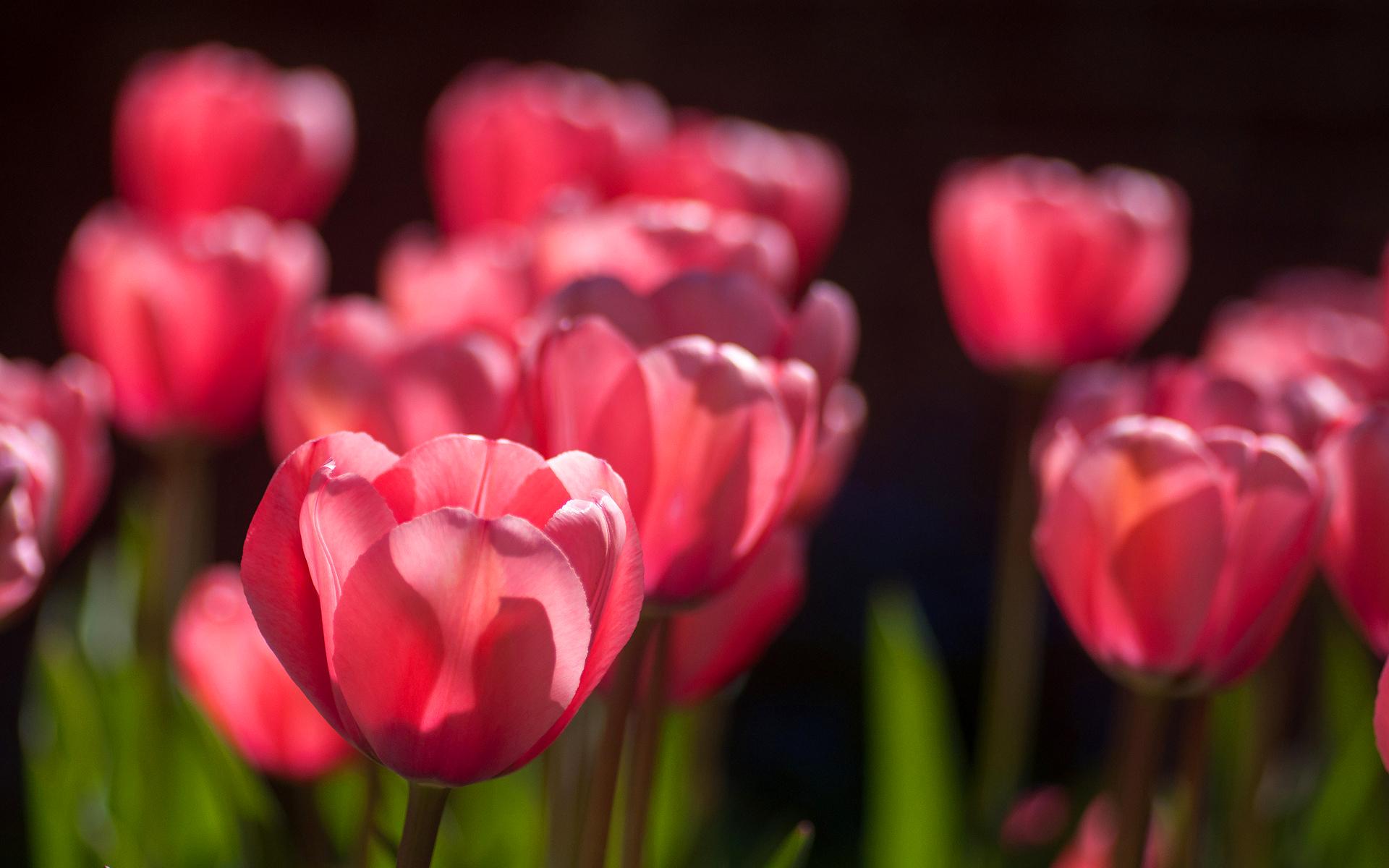 Tulips Hd Hd Desktop Wallpapers 4k Hd