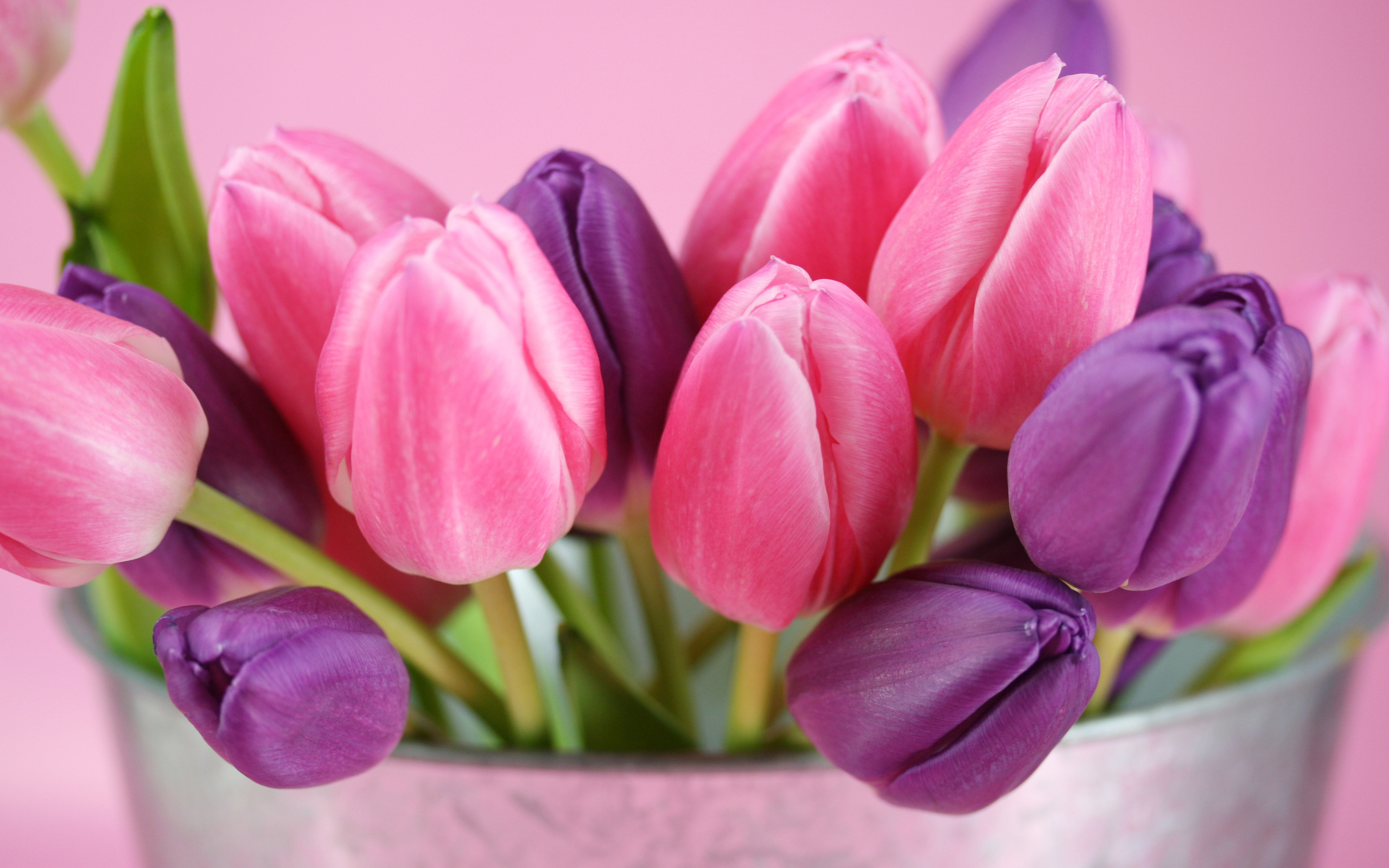 tulips pictures purple pink