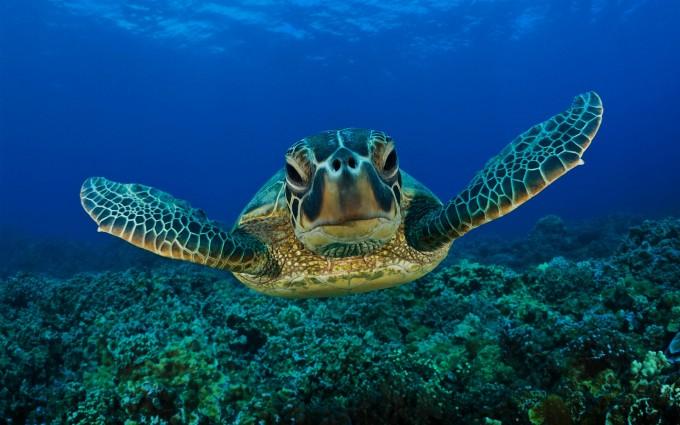 turtle wallpaper sea