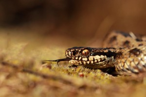 viper snake pictures hd