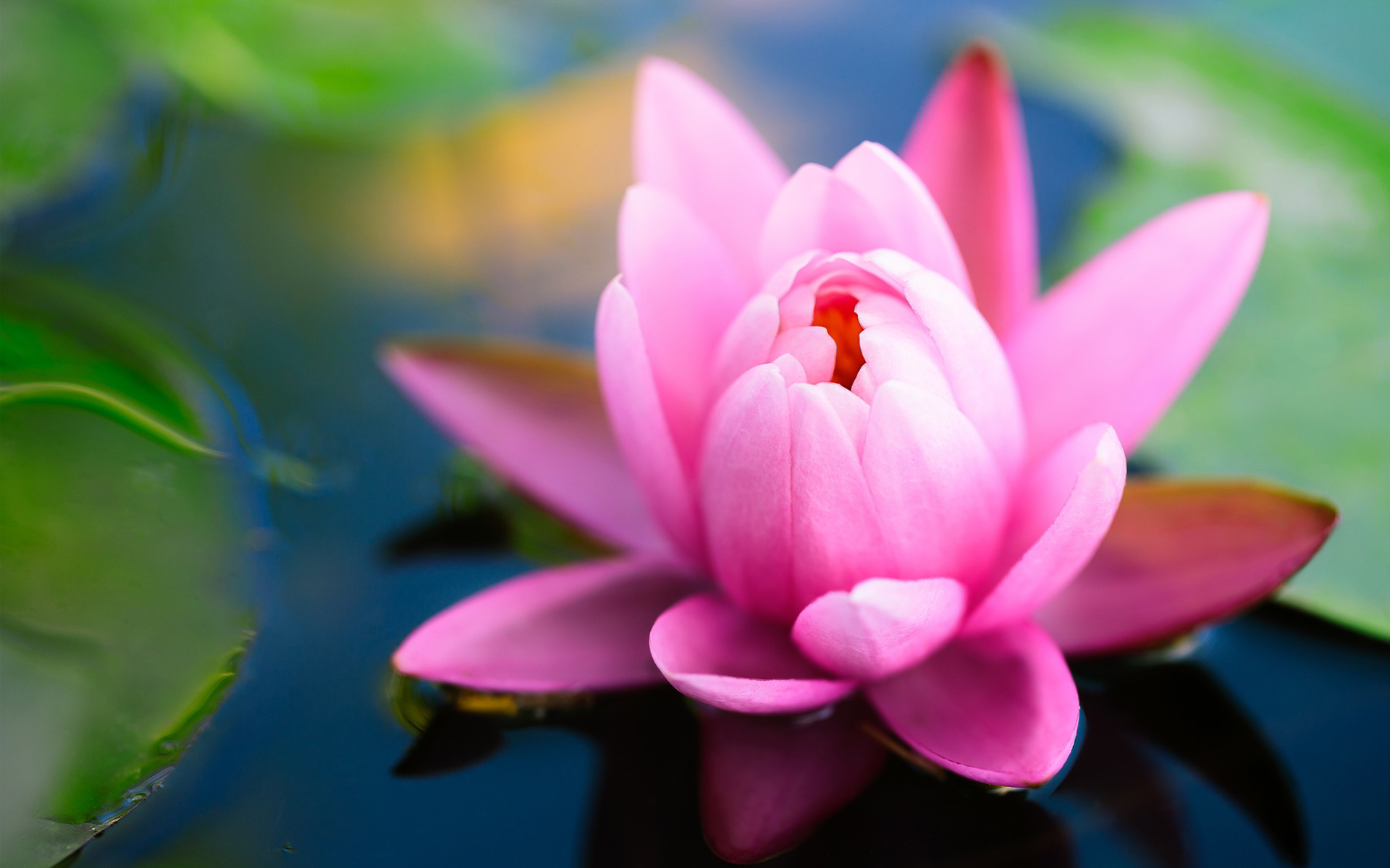 water lilly pink cool