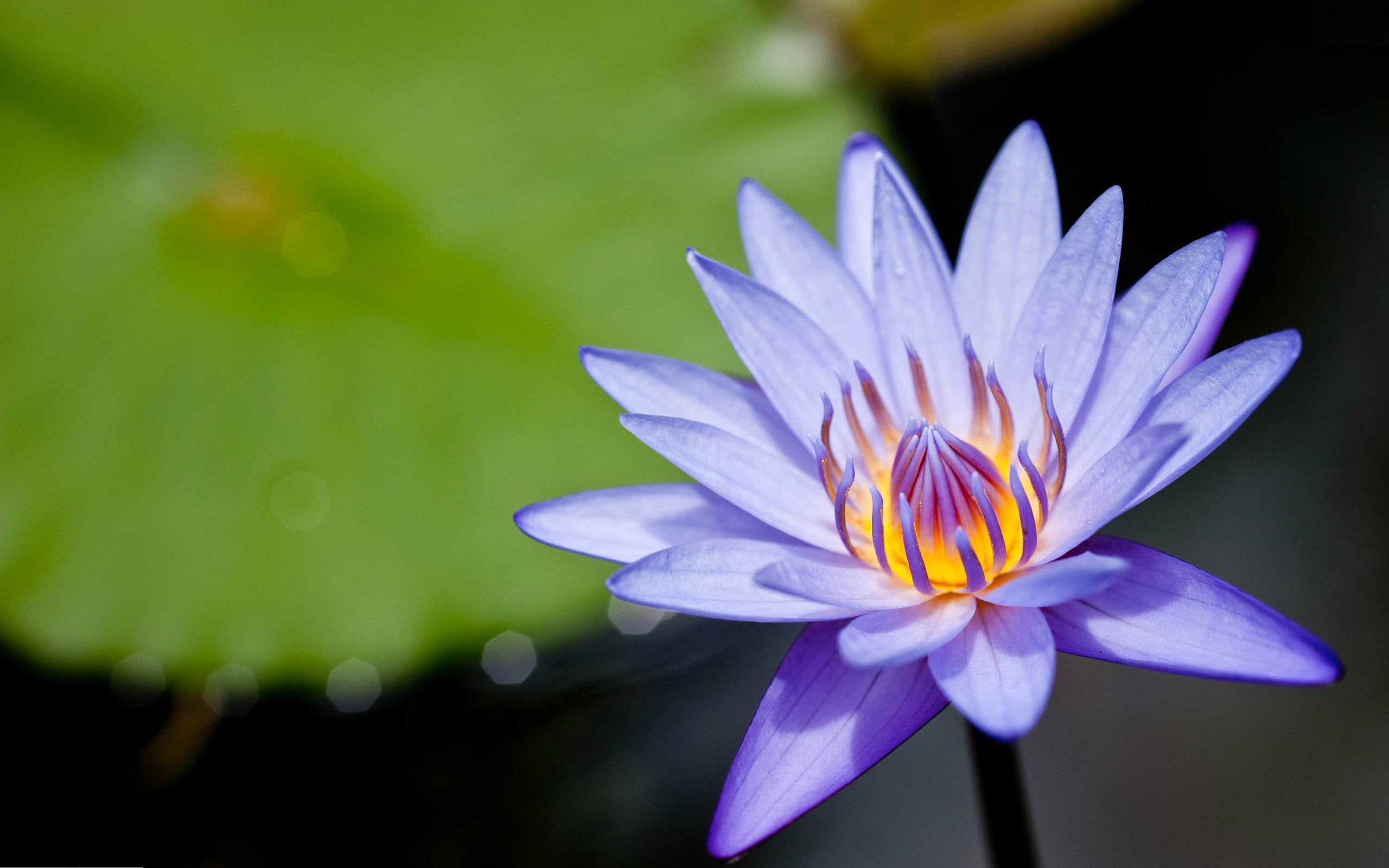 water lilly purple