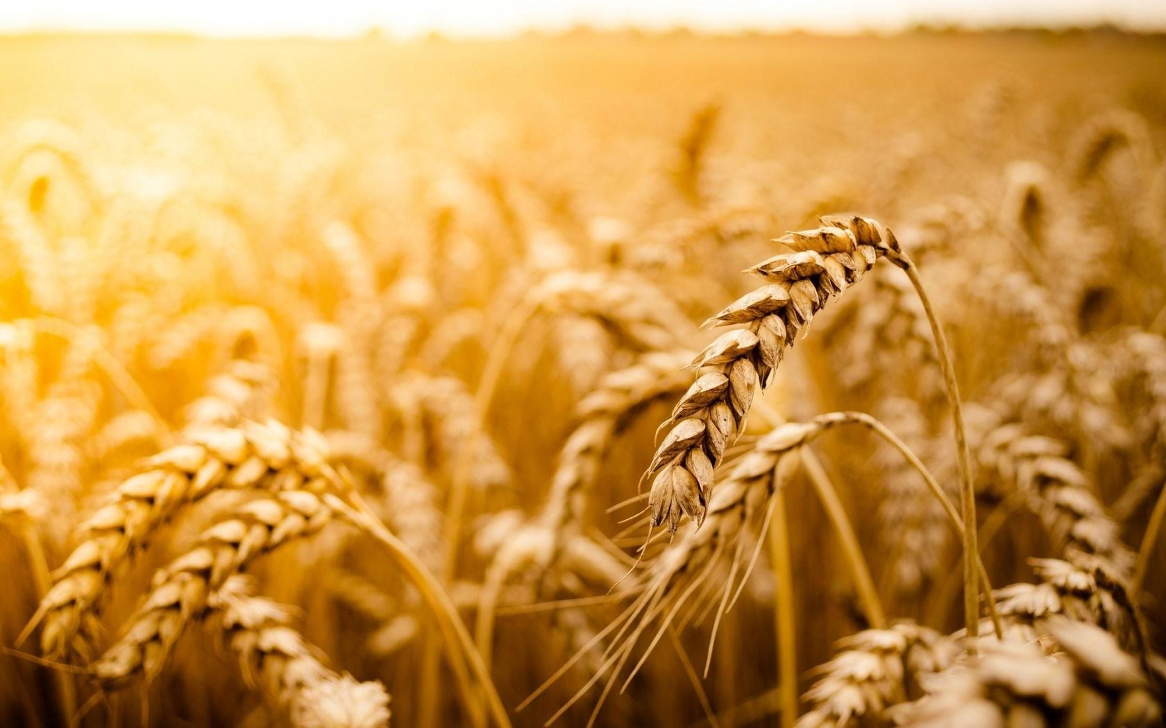 wheat field beautiful