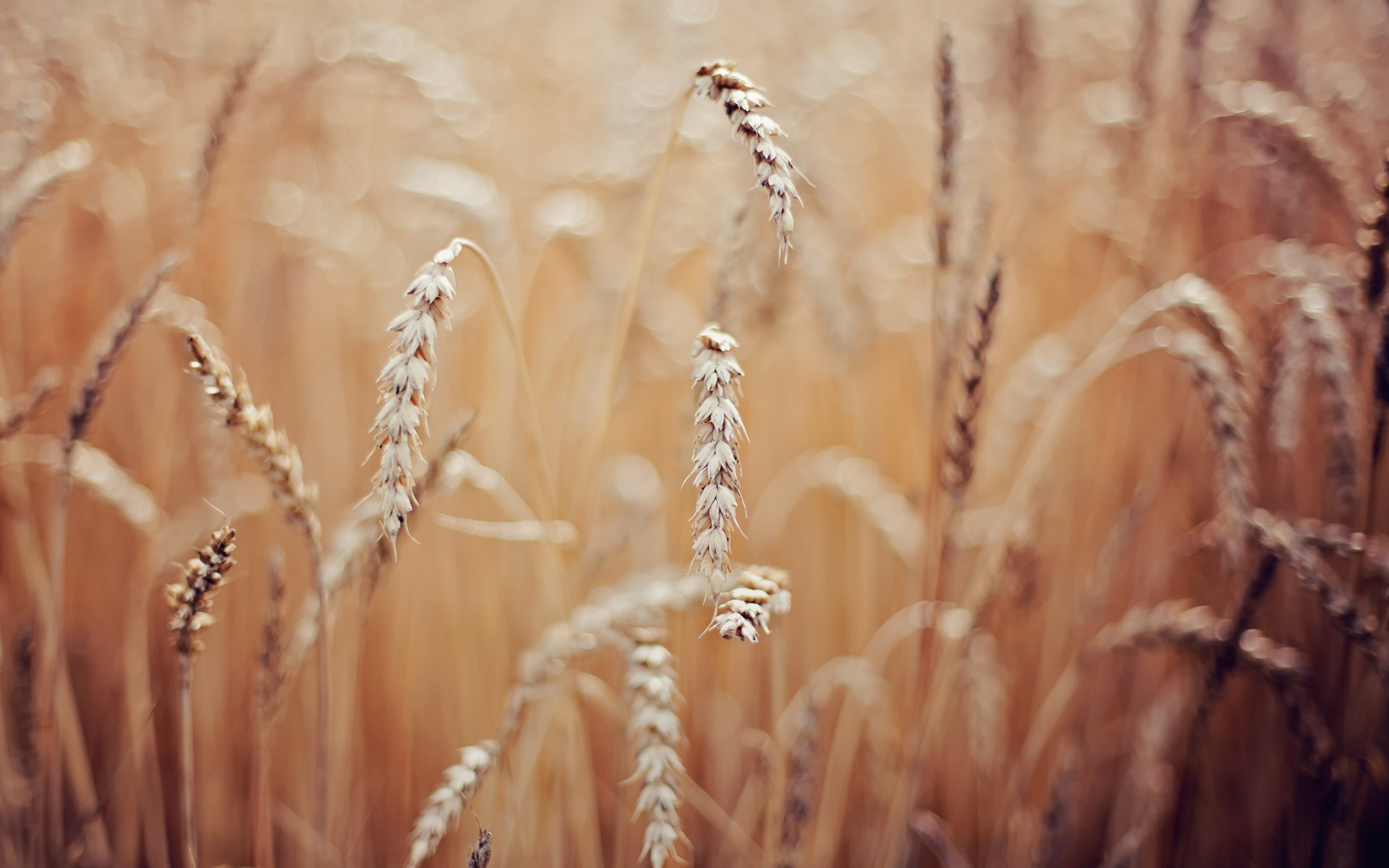 wheat field images hd