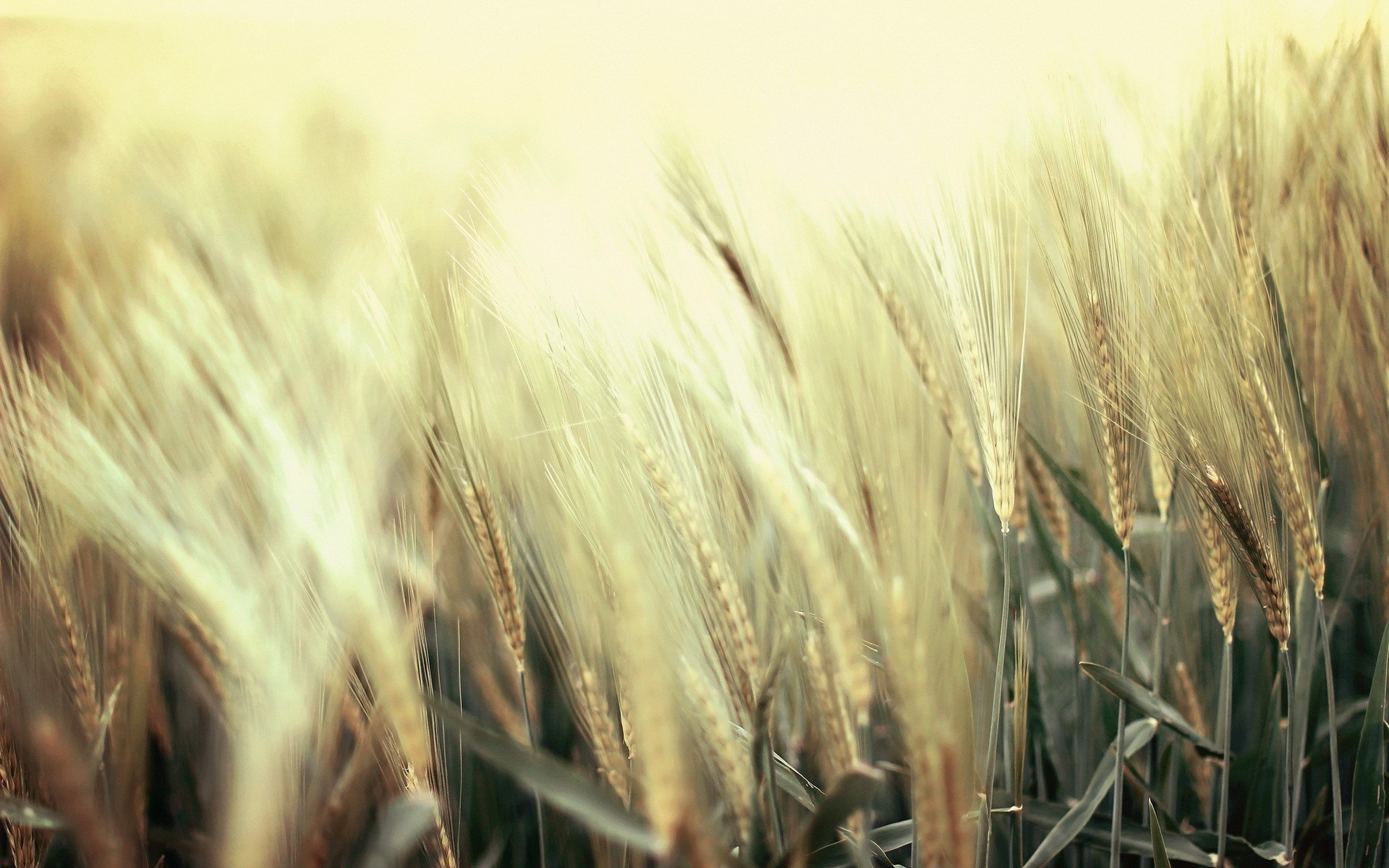 wheat field images