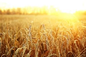 wheat field nature