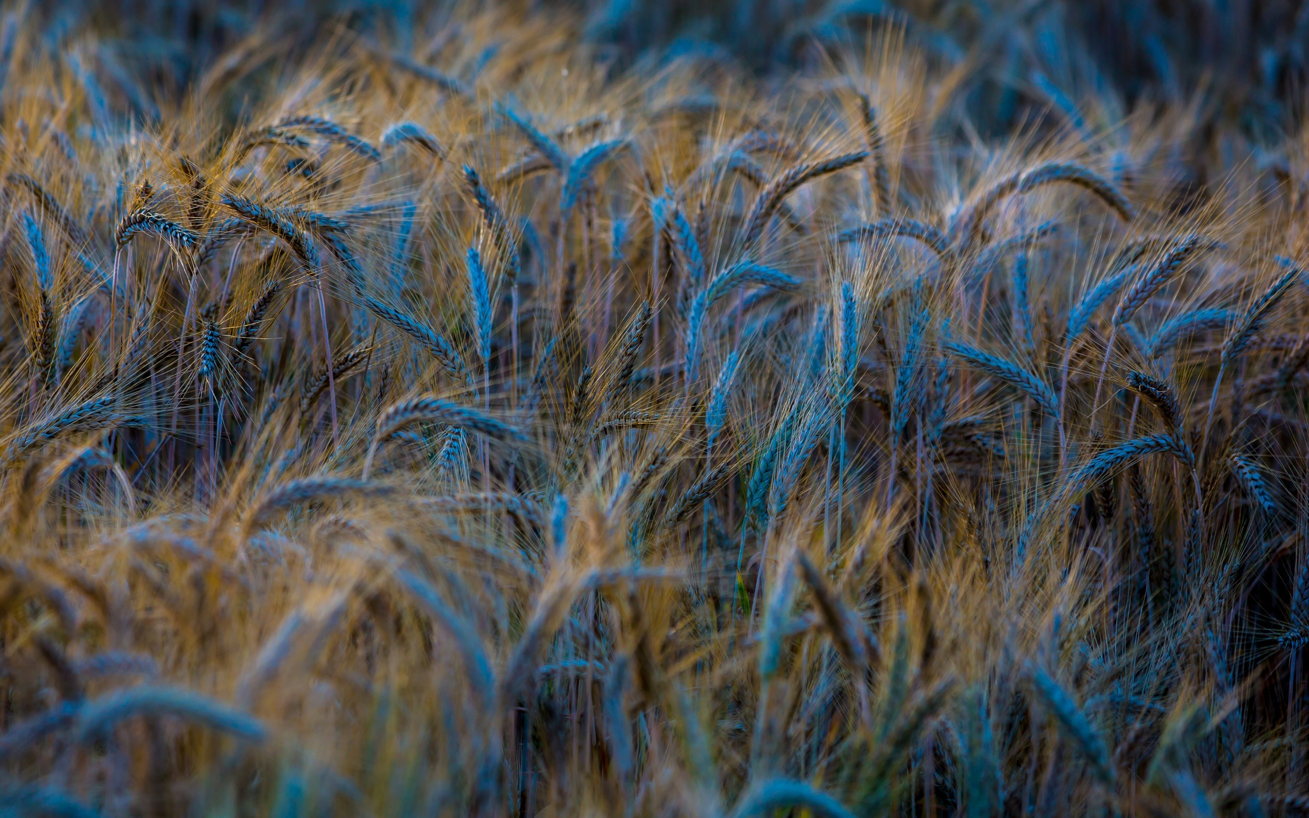 wheat field pictures