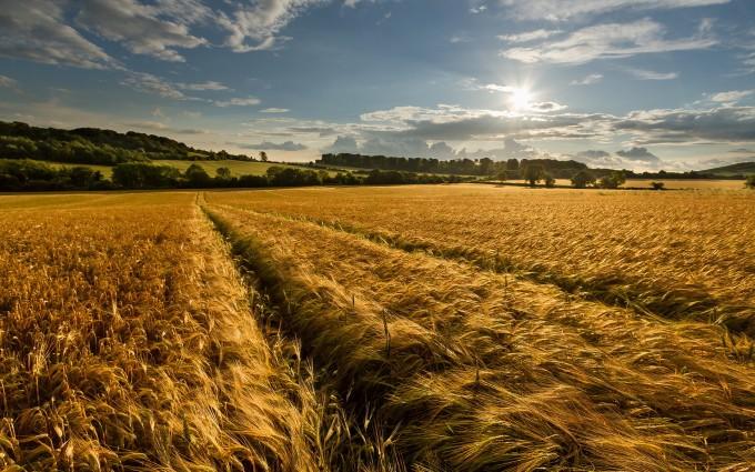 wheat field summer