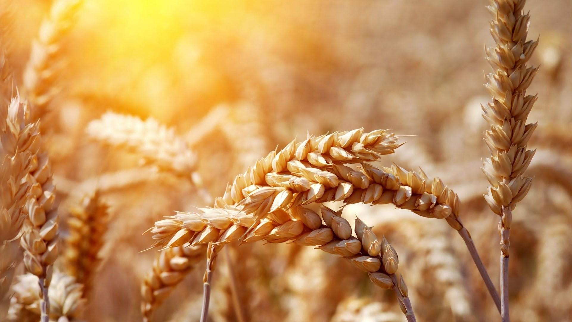 wheat nature close up
