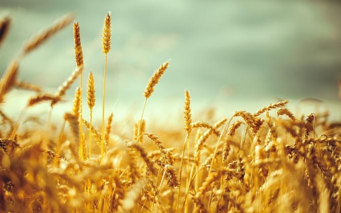 wheatfield cool