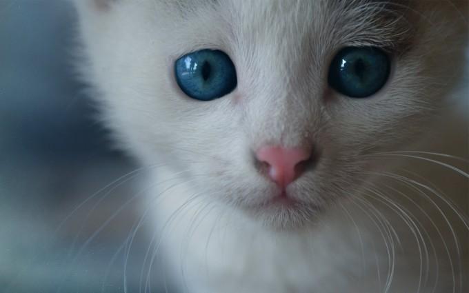 white cat blue eyes hd