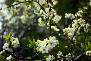 white cherry blooms