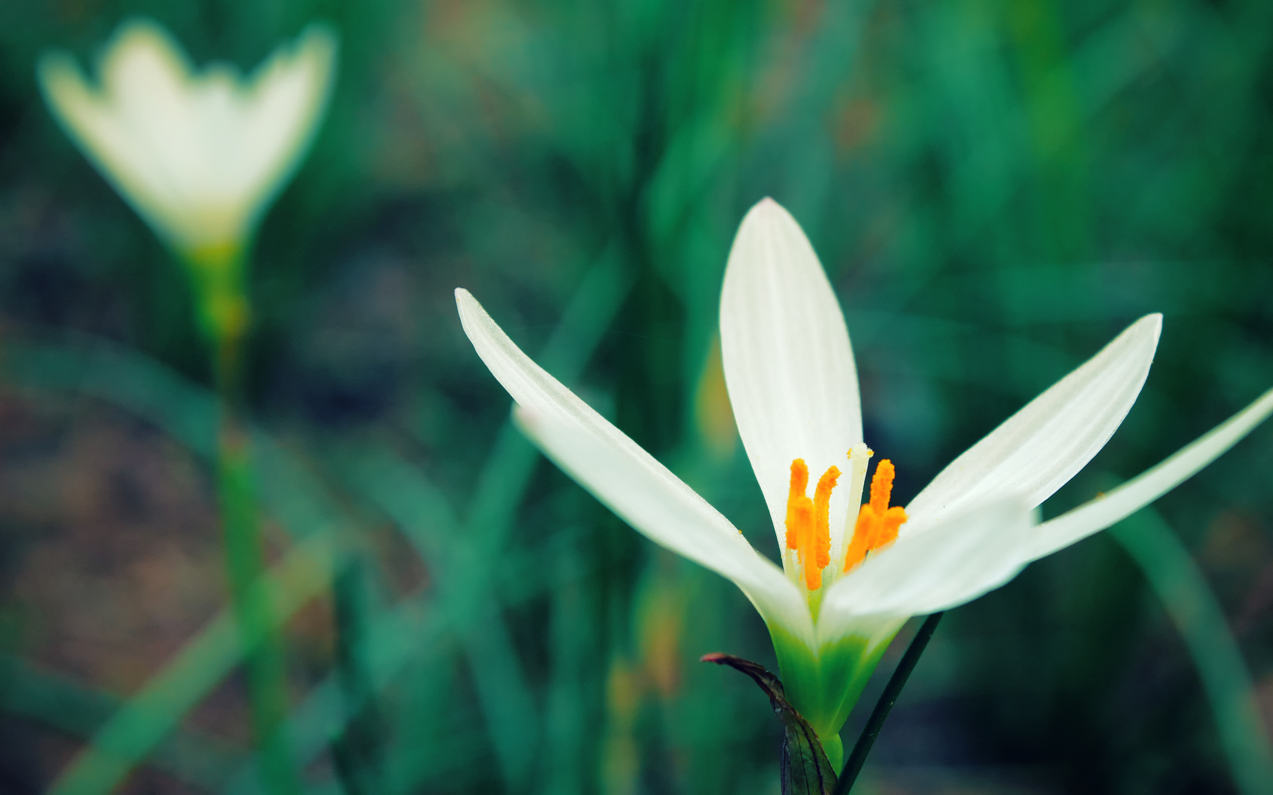 White Crocus Beautiful