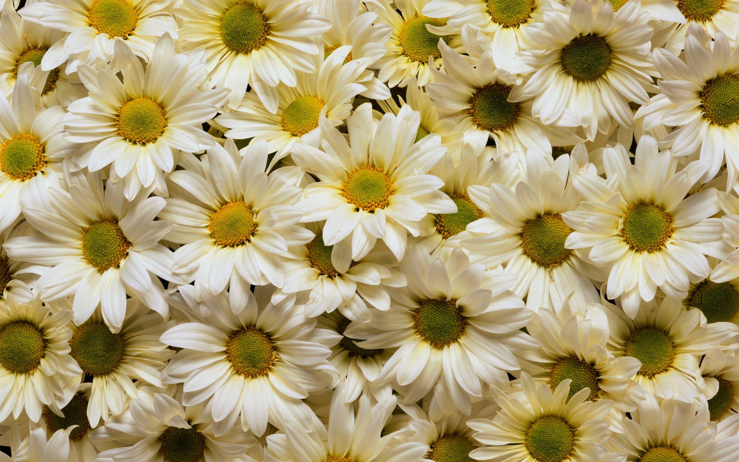 white daisies nature