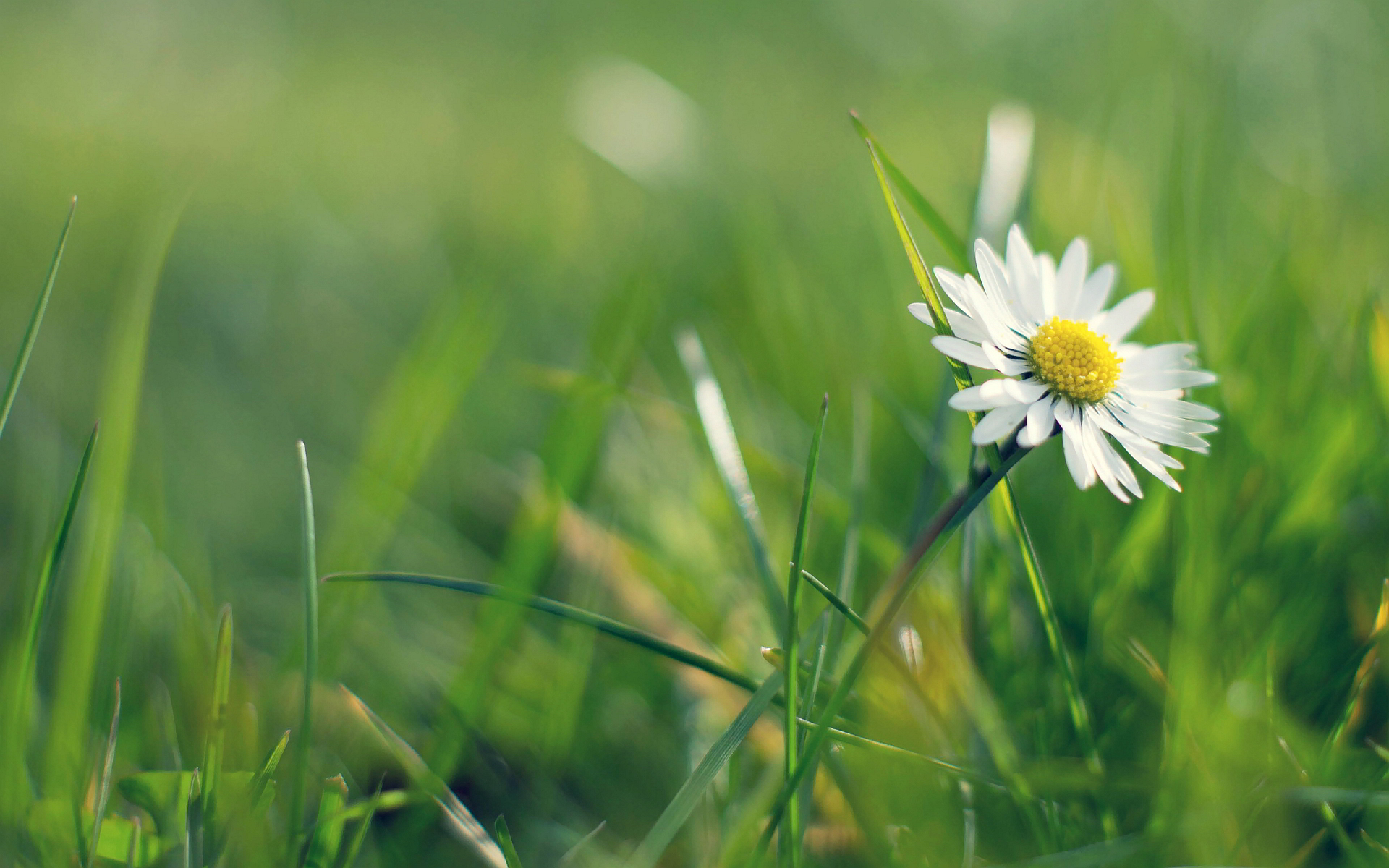 white daisy meadow wallpaper