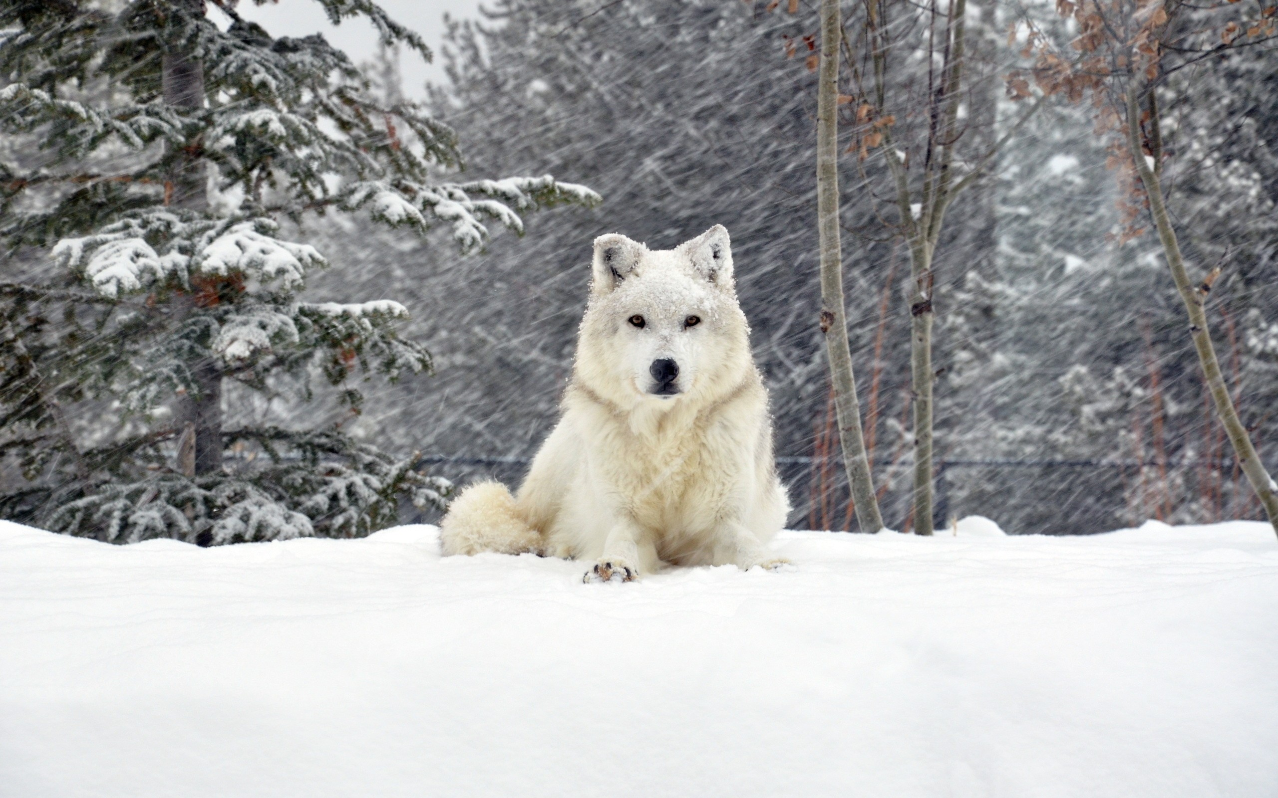 white dog desktop wallpaper