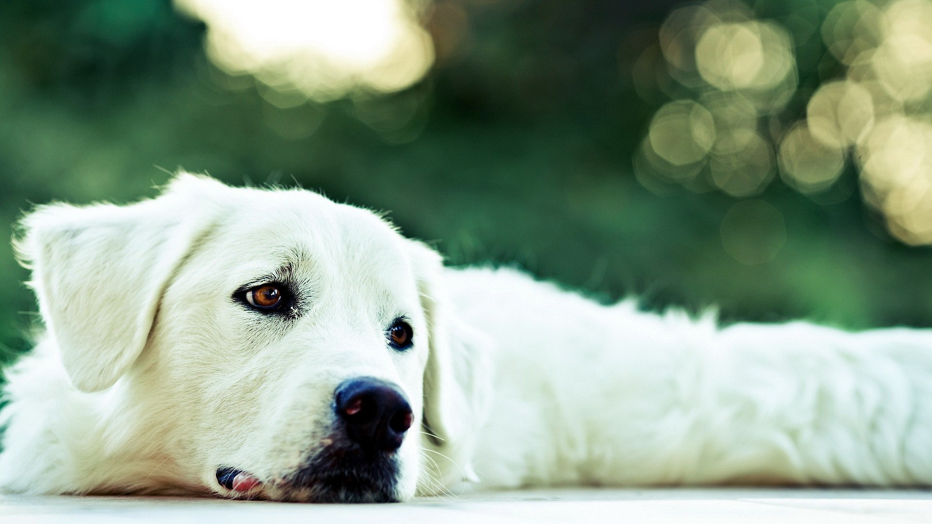 white dog images