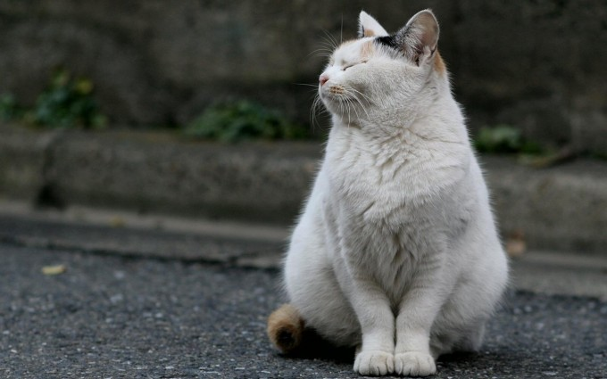 white fat cute cat