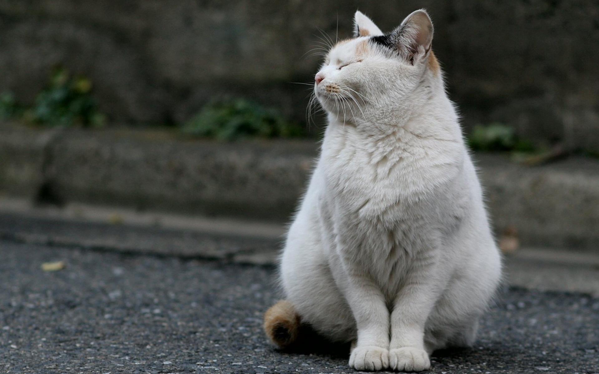 white fat cute cat