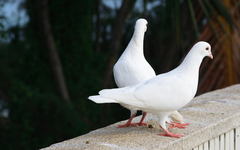 white pigeon doves