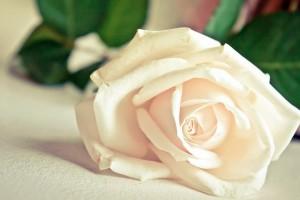 white rose hd