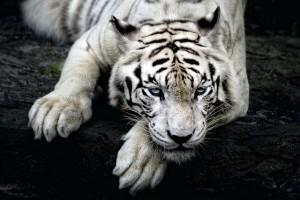 white tiger download