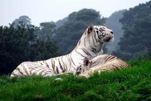 white tigers rare