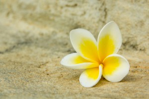 white yellow plumeria